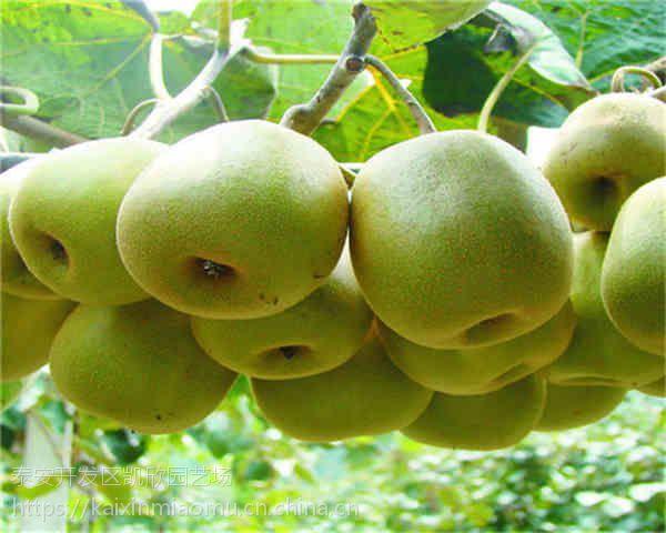 翠香猕猴桃苗管理方法 翠香猕猴桃苗多少钱一株