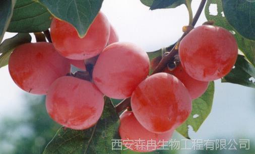 柿子单宁酸95% /单宁酸/柿子提取物 森冉生物图片