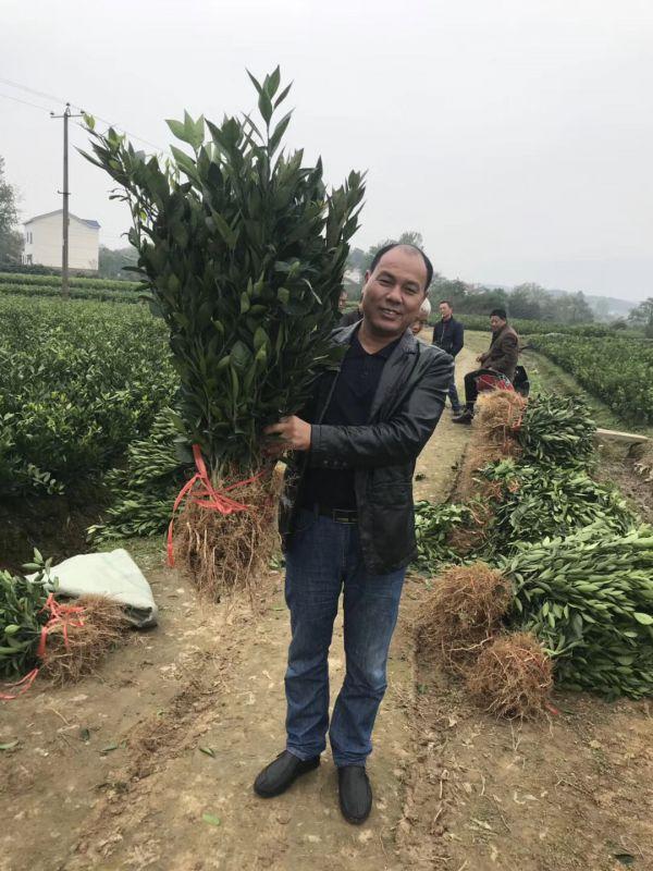 湖南树人公司张总检查特早熟温州蜜桔基地苗木长势情况