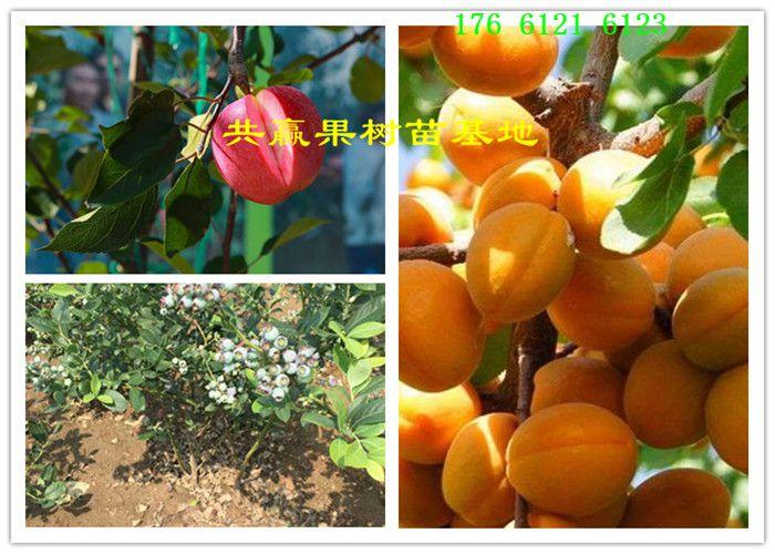河南安阳哪里有早酥红梨树苗基地近期卖多少钱(正规批发)