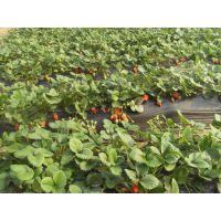 供应草莓苗,泰山草莓苗,草莓苗品种,果树苗,海棠苗---泰信园艺场