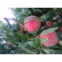 供应晚熟桃树