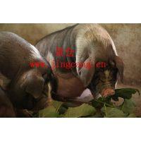 供应花猪整猪销售,企业年猪团购批发,花猪肉,中国四大名猪之一