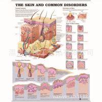 厂家供应皮肤医学挂图 UV印刷环保pvc人体挂图
