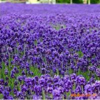 迷你小花卉 微型盆景 浪漫礼物 小花园 草头娃娃 薰衣草种子