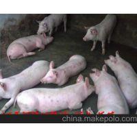山东仔猪养殖基地仔猪批发价格