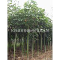 供应绿化乔木-马褂木、流苏、乌桕、法桐、青桐、灯台树、合欢