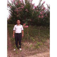 供应供应紫薇树(百日红,四川玫瑰红,红火箭,银薇)