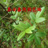 种植培育花椒苗、常年经营花椒苗基地