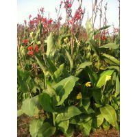 供应红花美人蕉绿化苗木美人蕉绿化苗木价格