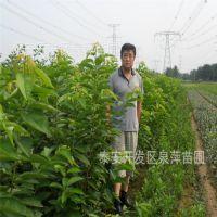辽宁樱桃树苗,大棚樱桃树苗,1米以上大红灯樱桃树苗
