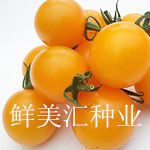 水果番茄种子——金喜