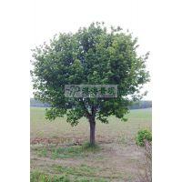 供应糖槭8-25cm 景观树 糖槭价格 糖槭报价