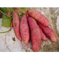 供应辽宁万亩【早中晚】红薯地瓜基地、块大口味甜、现收 现挖