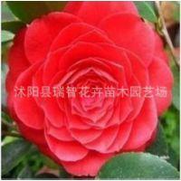 精品茶花塔米亚 新品种花卉 女皇二号 六角大红茶花树苗