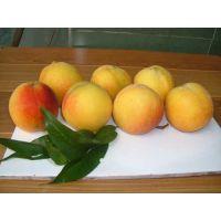 供应西杨黄桃原料基地 优质19黄桃销售