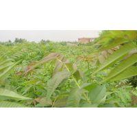 供应哪里卖香椿种子,红油香椿种子价格,批发香椿树苗