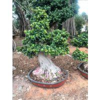福建造型气根小榕树盆景