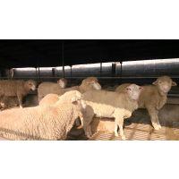 山东小尾寒羊养殖繁育基地