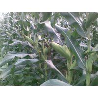 棒大、抗病又高产,天泰60是!鼎优农业玉米种子