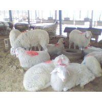 大型小尾寒羊养殖场 小尾寒羊价格优惠