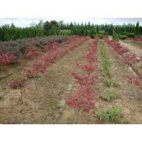 供应美国红枫扦插苗 红枫价格基地 日本红枫小苗批发