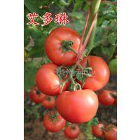 """供应高产粉果番茄种子—""""艾多琳"""""""