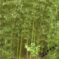 竹子 花卉 盆栽 早园竹 小青竹 雷竹 紫竹 金镶玉竹 竹子 竹苗