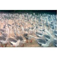 广西大白沙灰鹅苗出售 生长快 重量大小均匀 效益高