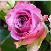 年宵花卉 粉红女郎 冷美人 精品玫瑰花苗 芭蕾盆栽玫瑰花苗