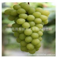 葡萄苗批发早生内玛斯葡萄坐果紧密品质极上有玫瑰香味早熟品种