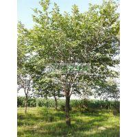 供应榆树8-25cm 榆树报价 榆树价格