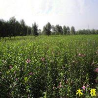 供应优质苗木 木槿小苗 木槿种子 木槿种子价格  绿化苗木批发