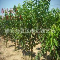 1.5公分粗大樱桃苗 新品种樱桃树苗基地 占地果苗