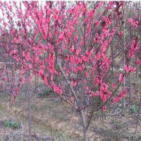 大量红叶碧桃小苗批发,供应红叶碧桃树苗价格,优质四公分红叶碧桃树苗