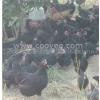 供应江西绿壳蛋高产黑鸡苗2011年9月秋季订购120天产蛋