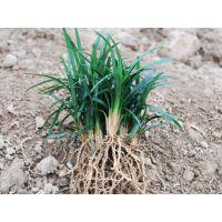 供应优质草坪:矮麦冬玉龙草日本矮麦冬地龙短叶书带草短叶沿阶草