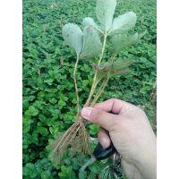 草莓苗,全明星草莓苗价格,山东 全明星草莓苗价格