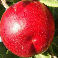 老杨培育的中农金辉桃树苗适合甘肃,拉萨,四川,重庆等地区种植,大棚桃树苗特供