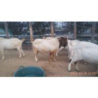 农收肉羊养殖批发价格