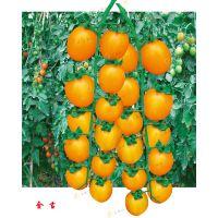 北京高产番茄种子 番茄种子供应 番茄种子品牌 彩色番茄种子 爱碧斯日本南瓜种子 美国西葫芦种子