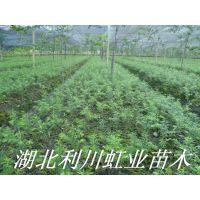 红豆杉苗/南方红豆杉苗/10-20公分南方红豆杉苗