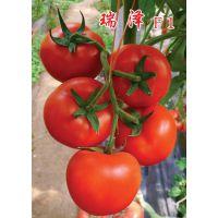 """供应大红高产西红柿种子番茄种子—""""瑞泽"""""""