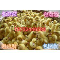 淮安金定鸭苗价格|蛋鸭苗|100克