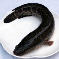 三度鲜水产鲜活黑鱼【约1250g/条】