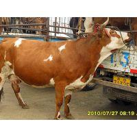 常年供应牛,马,驴,骡,骆驼,羊,育肥牛,架子牛,西门塔尔品种牛等牲畜