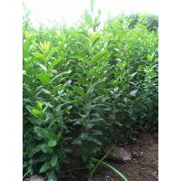 供应水蜡30-60公分高水蜡苗连翘 红瑞木 红王子锦带 绿化苗木