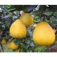 供应优质高产蜜柚、沙田柚嫁接苗-兴达苗木基地