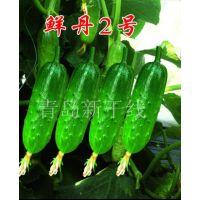 旱黄瓜鲜丹2号雌性强、易坐瓜、成瓜极快,瓜长13cm左右,形短棒状,瓜色翠绿,口感极佳,是耐低温、耐