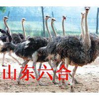 供应鸵鸟 鸵鸟养殖场 鸵鸟价格 鸵鸟苗 鸵鸟养殖技术 孔雀 山东鸵鸟繁育养殖场